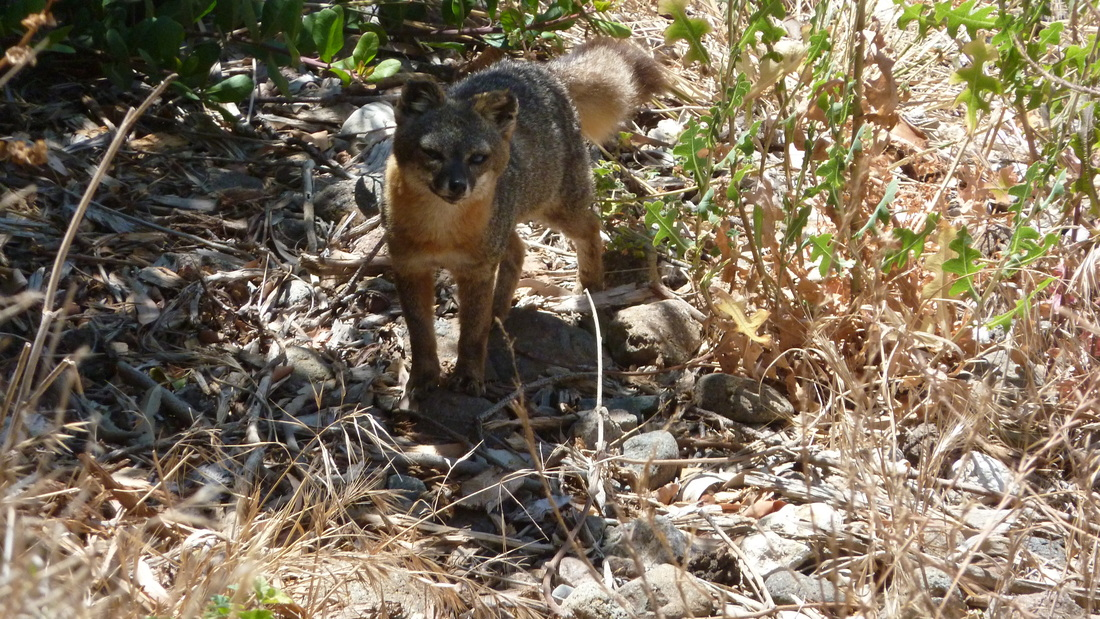 We were lucky to see the Island Fox at the Channel Islands National Park.