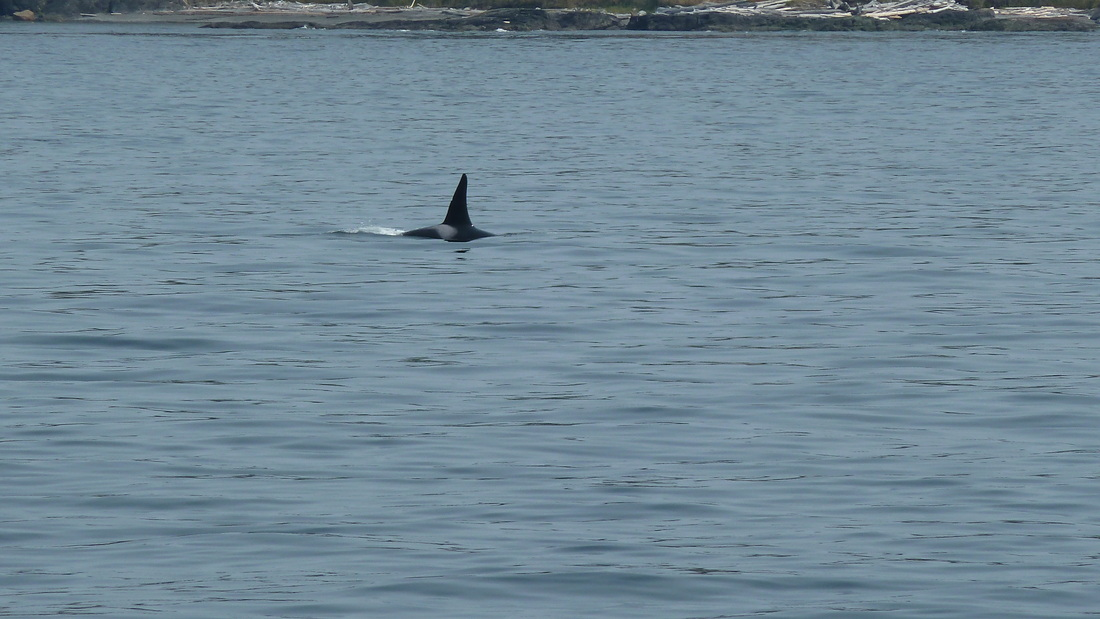 Orca sighting on whale watching tour near San Juan Islands.