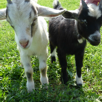 Get Up & Go - 6 Road Trip Ideas  | Baby goats at Verdant View Farm in Pennsylvania Dutch Country.