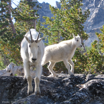 6 Days in the Enchantments - so many mountain goat encounters!