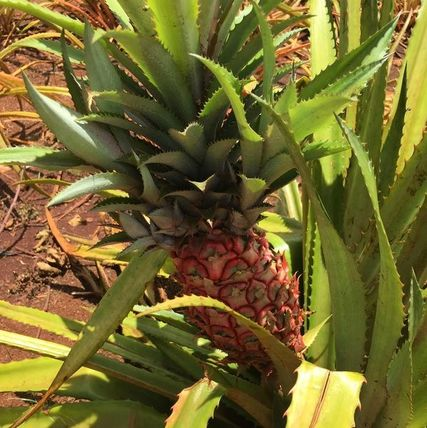 Fresh pineapple at the Dole Plantation on Oahu.